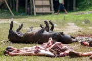 Sacrifiction of Pigs