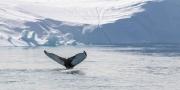 Whale tale - Humpback