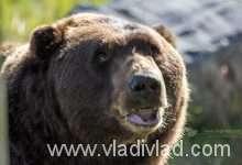 Hnedý pobrežný medveď, Aljaška | Coastal Bear Alaska