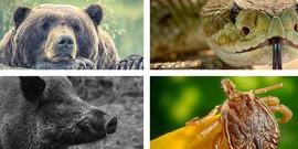 Dangerous animals in Slovakia, bear, snake, wild boar,