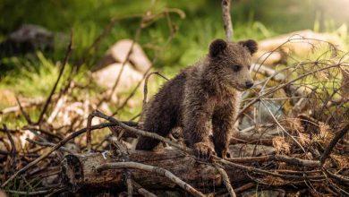Bear Alaska Instructions