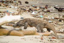 Varan Komodský na pláži plnej smetiska, Indonézia
