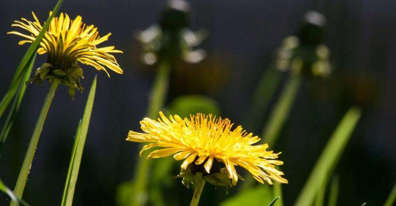 Púpava, liečivá rastlina, Dandelion